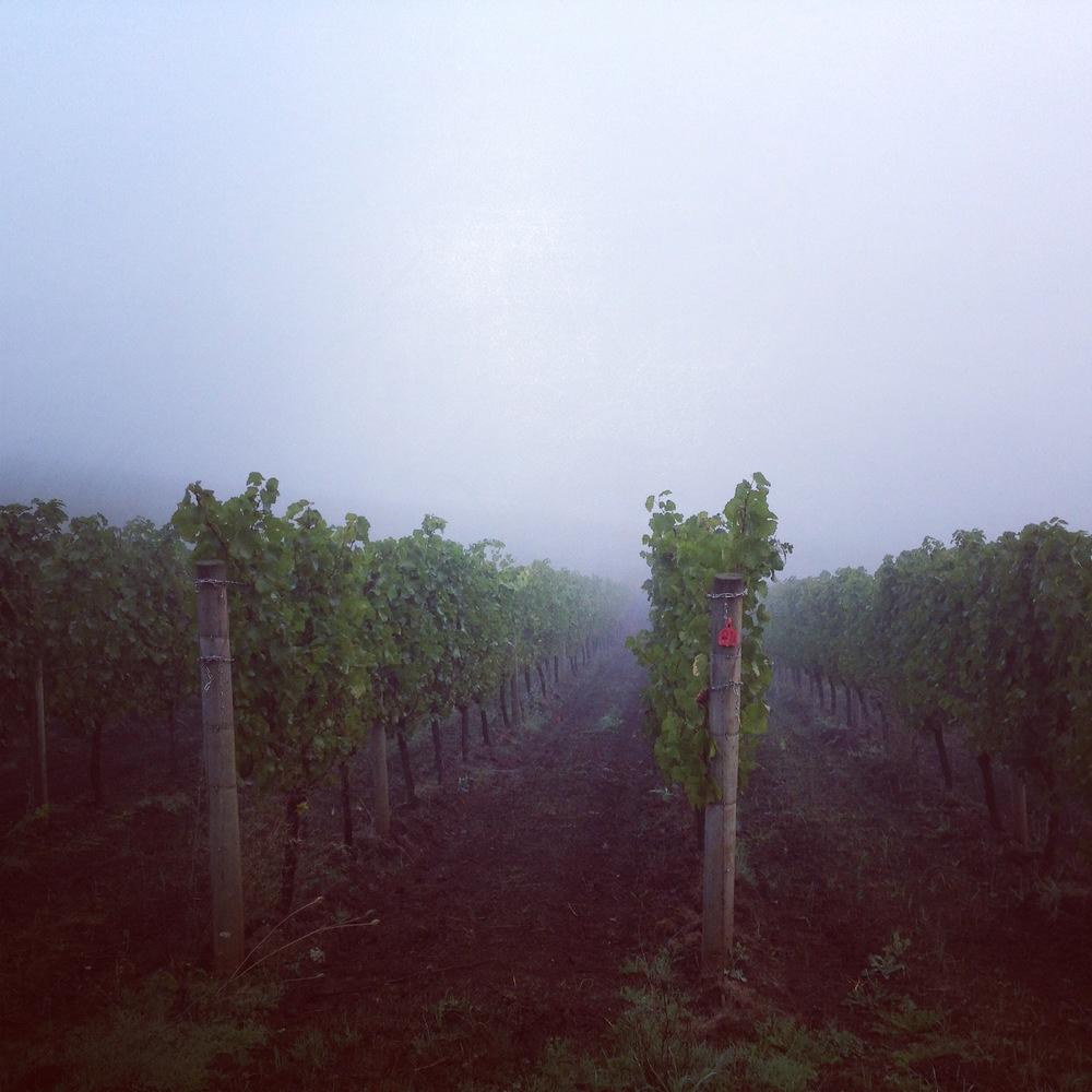 vineyardfog