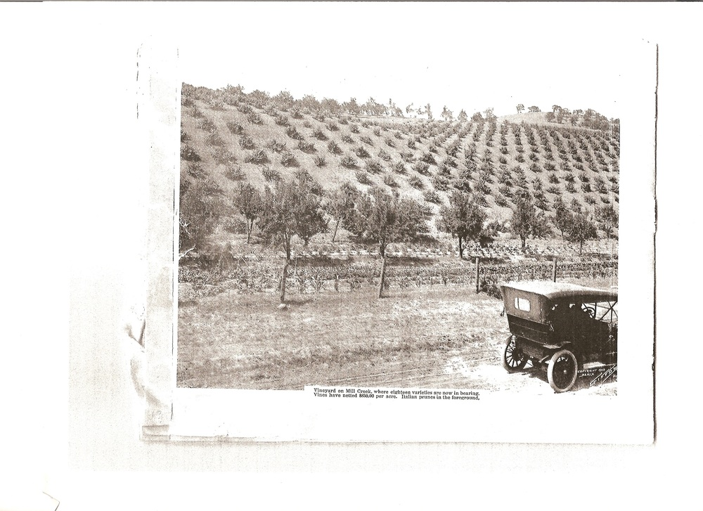 Comini's Vineyard Circa 1911. Credit: The Pines Winery