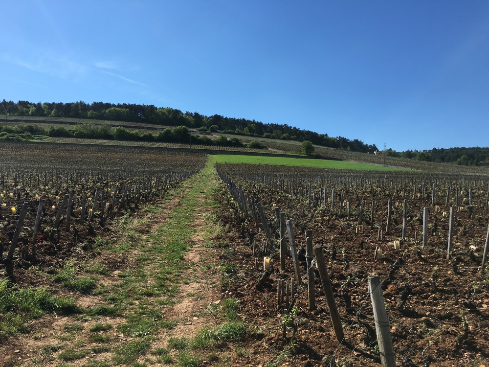 Looking west up the hill at Clos de Tart's vineyard. Bud burst had just occurred but a recent frost did damage to the young vegetation. The vines are planted north/south, perpendicular to the slope, which is rare in Burgundy.