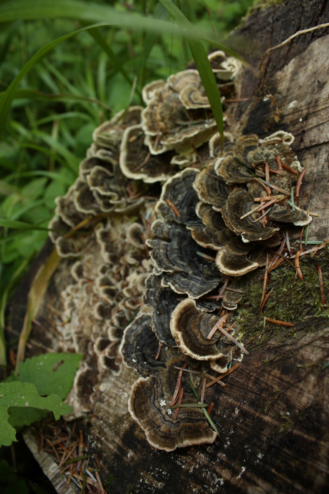 Ok I do know this one mushroom. Turkey tail (Trametes versicolor)