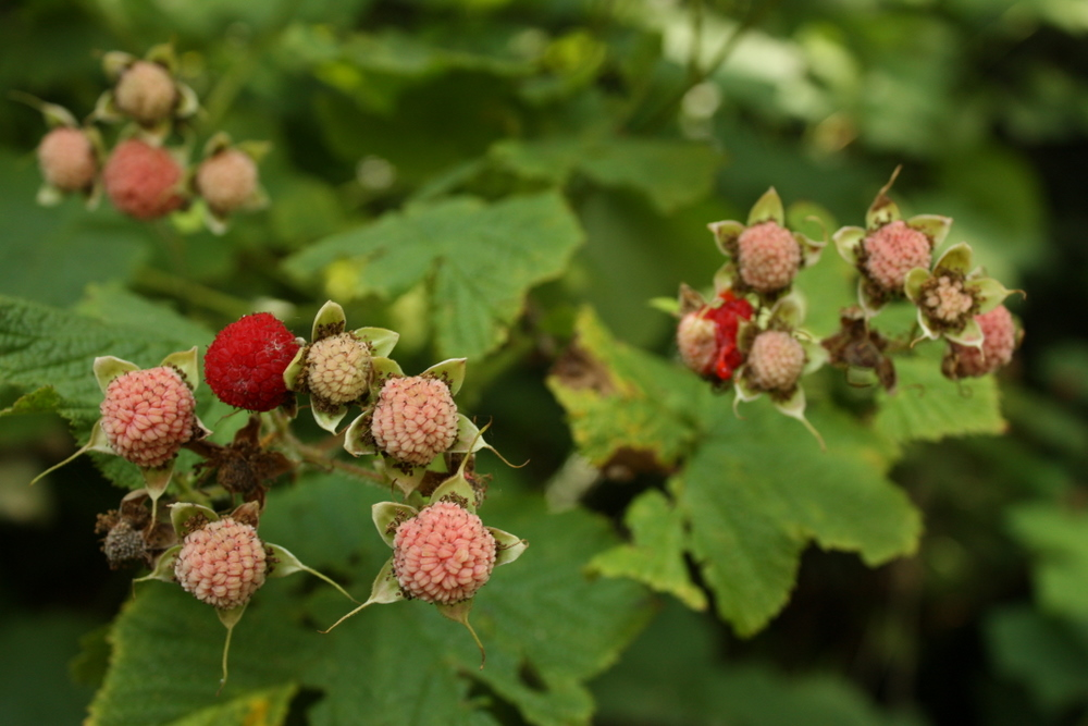 Thimbleberries on the way out.