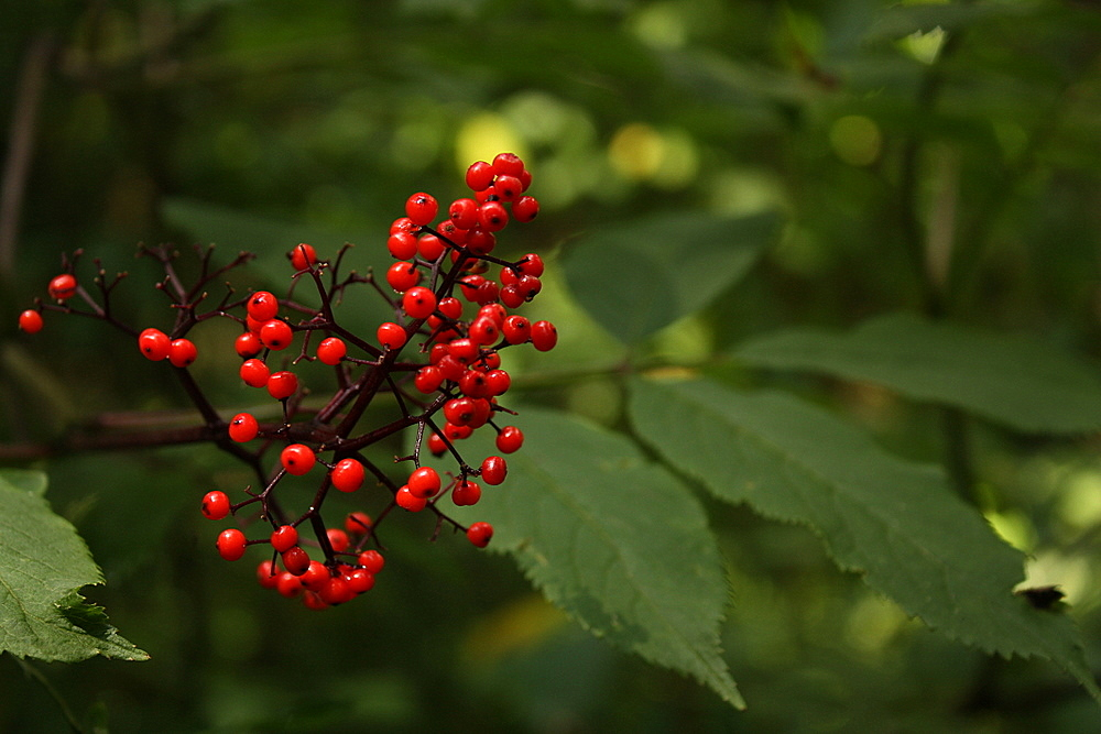 Red elderberry. Distinguishable from red huck by leaf arrangement (hucks have alternating leaves while red elderberry have opposite leaflets forming composite leaves) and berry arrangement (red hucks grow individually along the stem, while red elderberry form clusters in a cone-shape aka raceme).  The actual fruit of the red elderberry is technically edible when cooked but the other parts of the plant (including the stem attaching the berry) are poisonous. The fruit is not very tasty, so personally, I just consider this off limits: I am not willing to be so careful as to de-stem a zillion tiny berries nor risk illness if I missed too much non-berry material if the end result isn't even going to taste good.