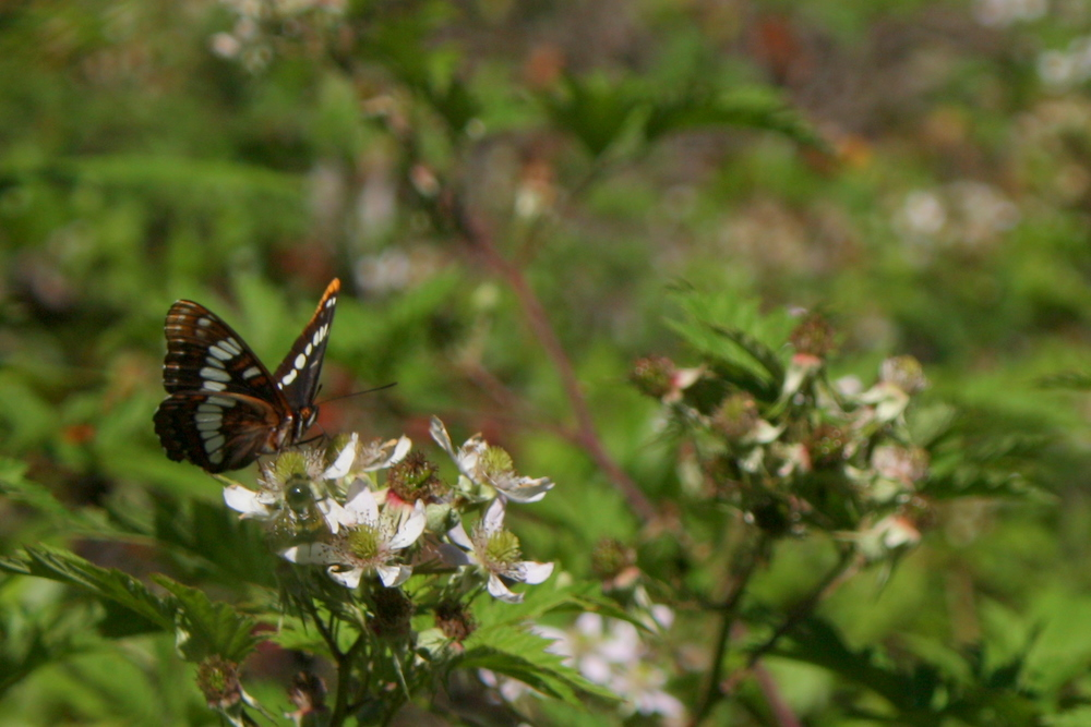 Fortunately, the Bridle Trails State Park encourages one to be focused on beauty. (Lorquin's Admiral (Limenitis lorquini on Himalayan blackberry)