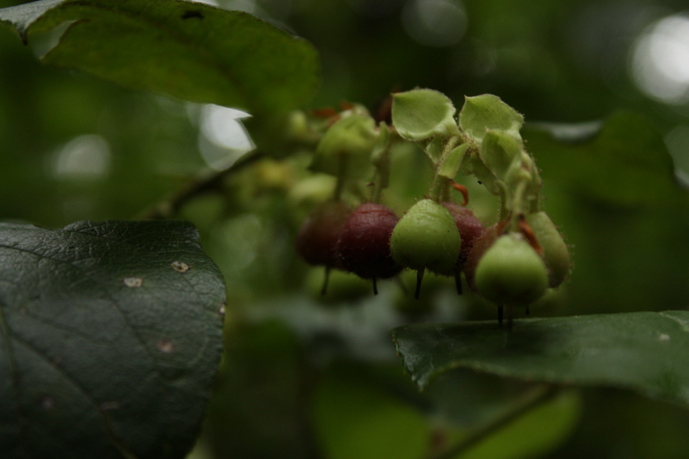 It started out normally, innocent-looking plump salal berries ripening along the trail.