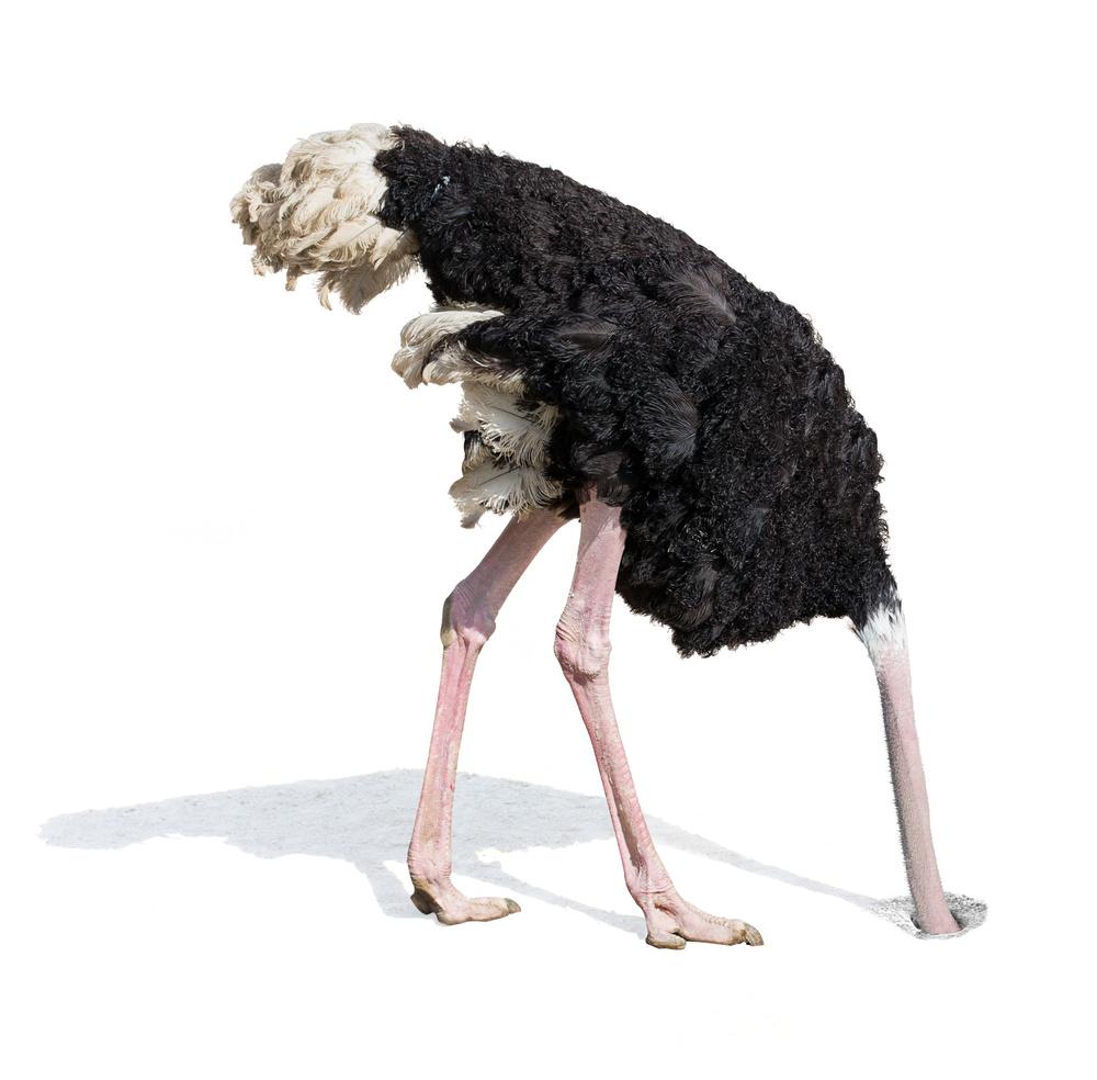 ostrich head in sand denial