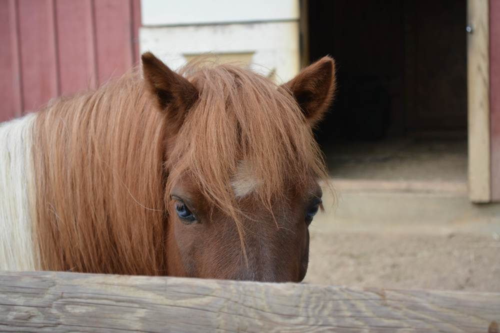 "Two miniature horses – Silver and Thunder – live on ""Old McKeanly Farm."""