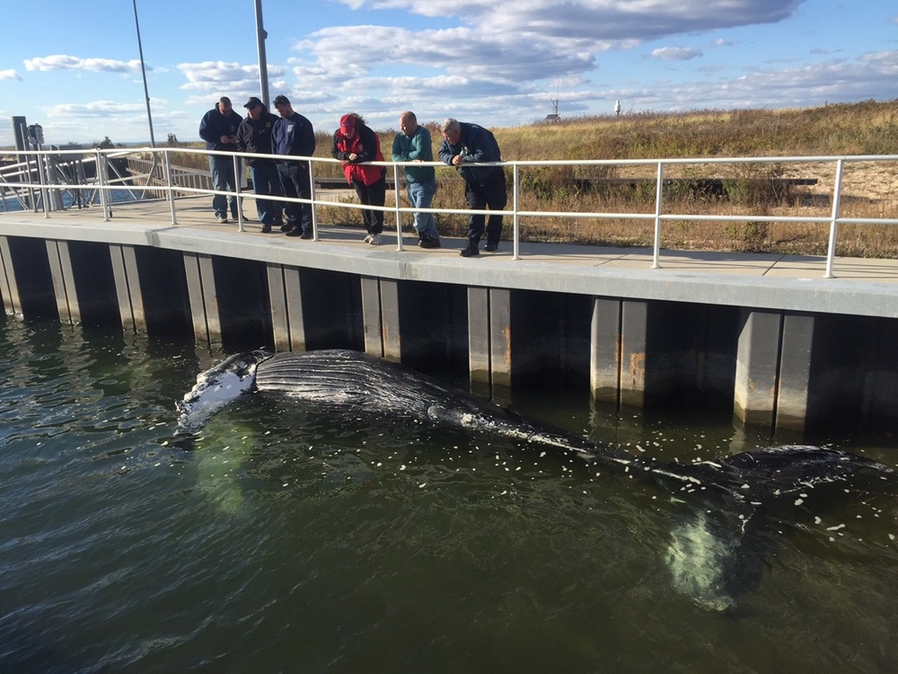 The carcass of a 28-foot humpback whale found off Lloyd Harbor Saturday morning was towed to the US Coast Guard Station at Eatons Neck where biologists will examine it to determine the cause of death. (Photos/Riverhead Foundation for Marine Research and Preservation)