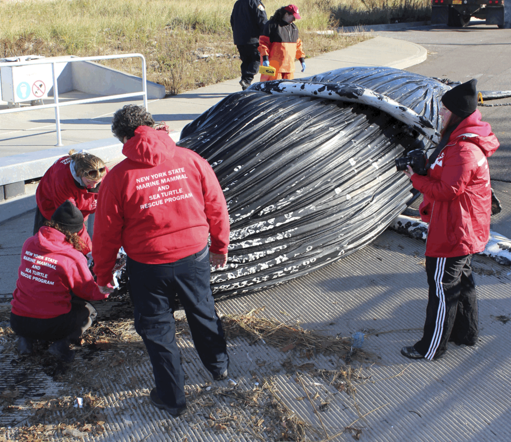 Biologists from the Riverhead Foundation for Marine Research and Preservation examine a whale that died in Huntington Harbor this weekend. Photo by Riverhead Foundation for Marine Research and Preservatio