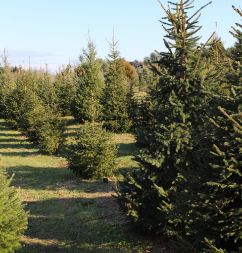 Elwood Pumpkin and Christmas Tree Farm offers a variety of trees, from Norway spruce, blue spruce, Douglas fir, Fraser fir and Turkish fir.