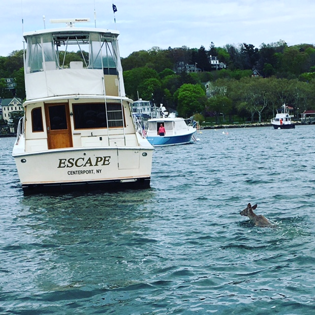 It is only fitting for a deer to swim past a boat named ESCAPE during its swim across Northport Harbor to the Centerport Yacht Club, which several Northport Park goers witnessed on Friday. Photo by Dave Weber