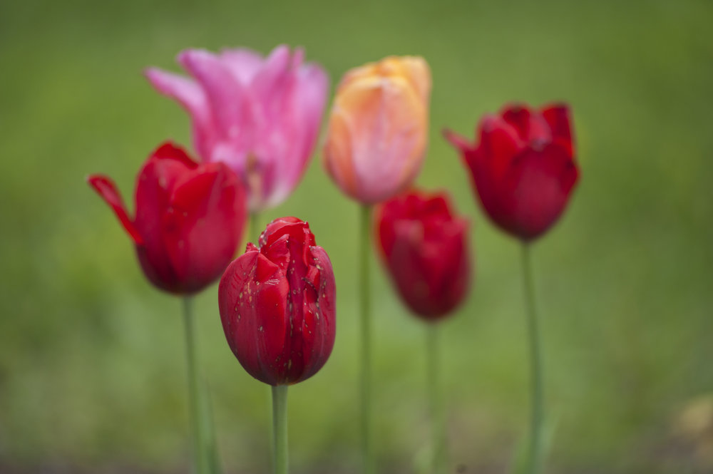 Close-ups of some of the colorful tulips throughout Heckscher Park, where more than 20,000 flower blossoms could be enjoyed.