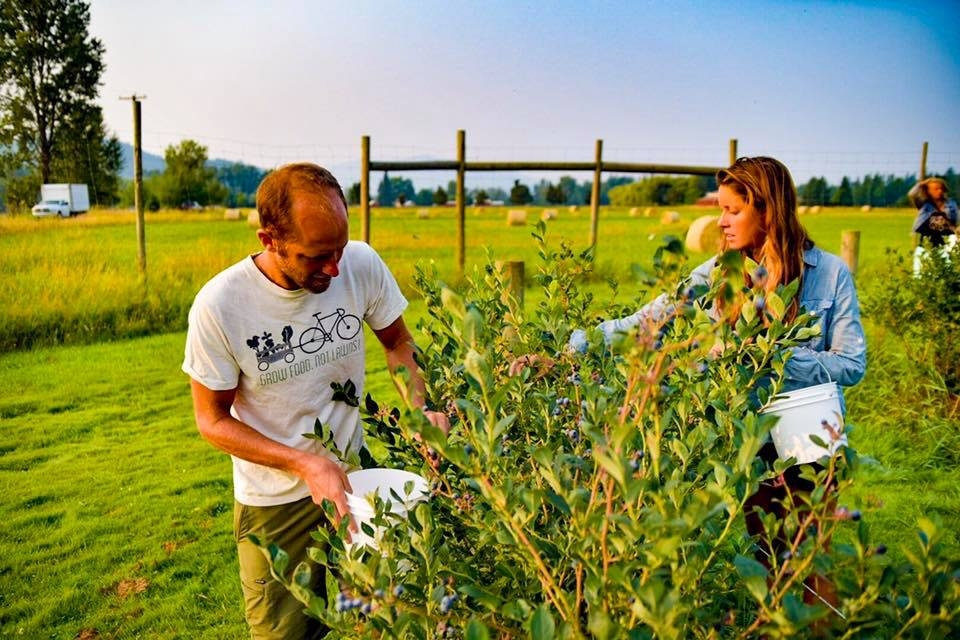 Photo Courtesy of Adam Fenton  Cheryl Davies and Rob Greenfield pick blueberries on a farm in Sandpoint, Idaho.