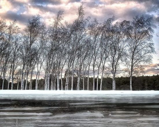 Birches in Winter, Joan Smith