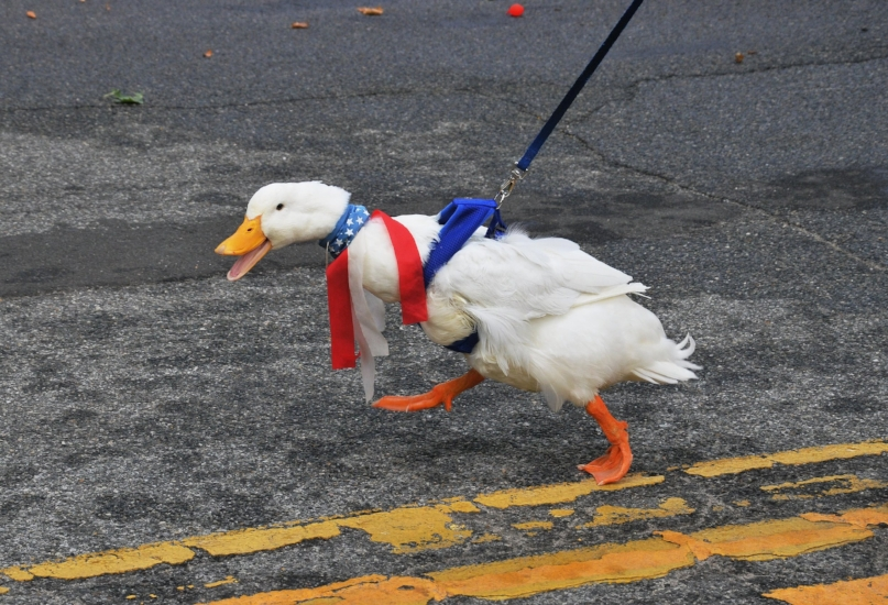 """Donald"" the famous Eatons Neck marching duck is all decked out in red, white and blue."