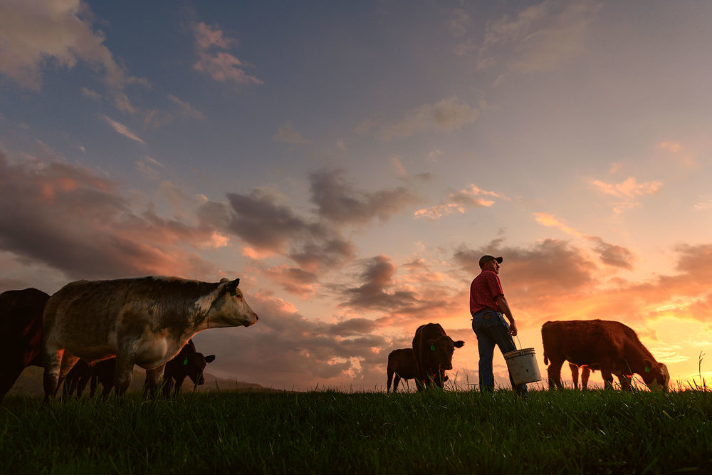 Appalachian Rancher With Cows