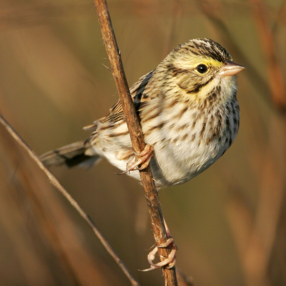 Savannah Sparrow photo credit Greg Lavaty.