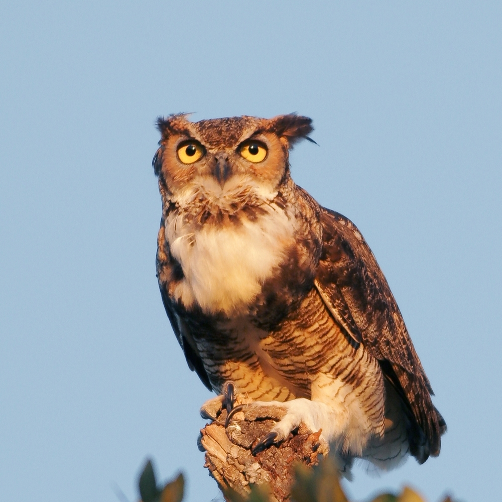 Great Horned Owl photo credit Greg Lavaty.