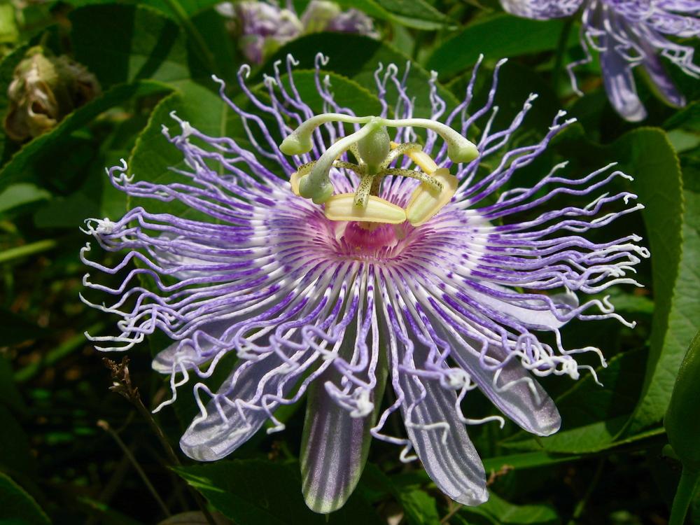 Passionflower1_jgonzalez.JPG