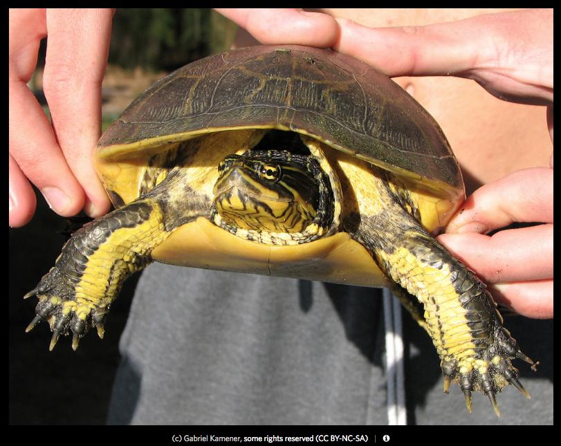 Western Chicken Turtle -