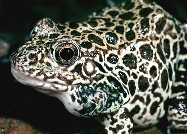 Crawfish Frog -