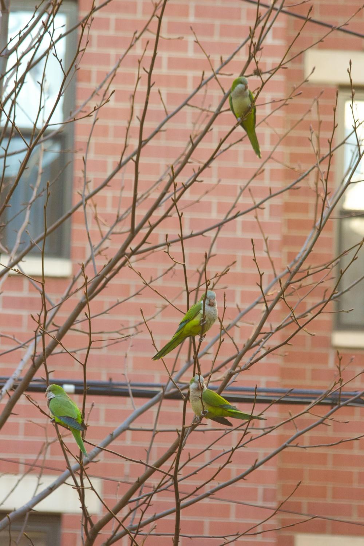 Wild Quaker parrots in Harlem