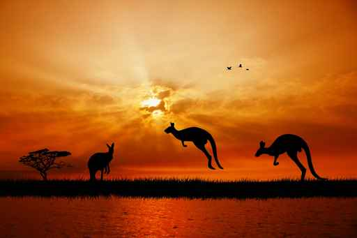 kangaroos at sunset