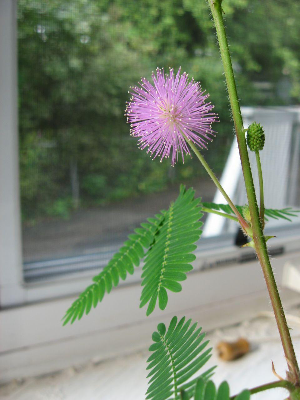 Mo the Mimosa