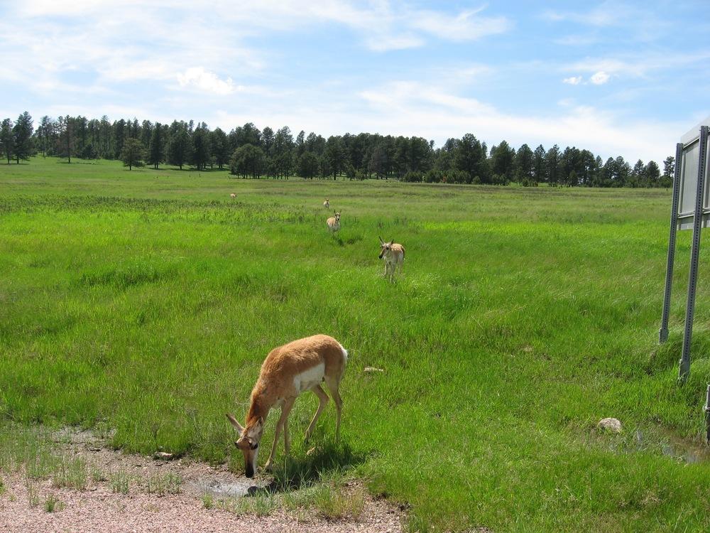 Mule Deer???