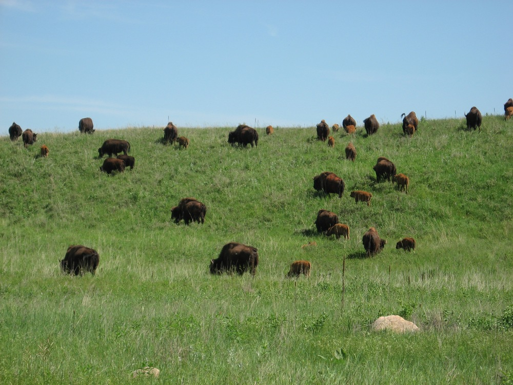 So Many Bison!