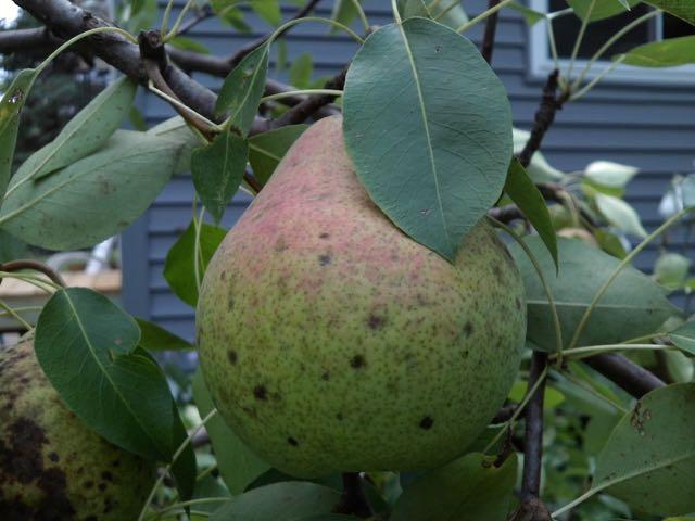 (pear)