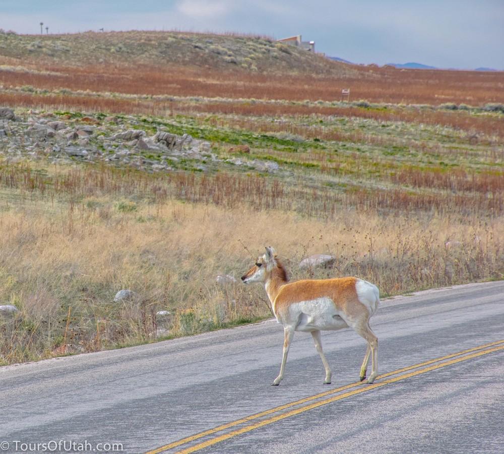 Antelope Island driving safari.jpg