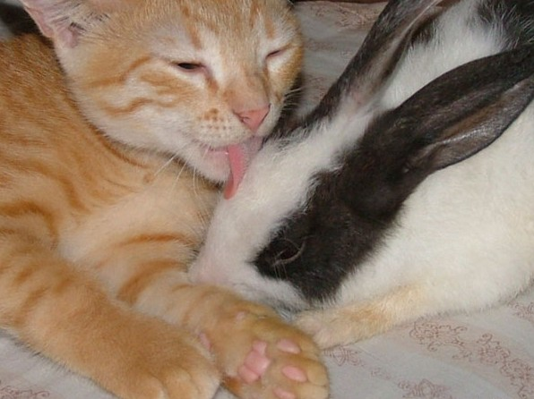 kitty loves bunny kiss hug cute adorable licking together kawaii cat rabbit