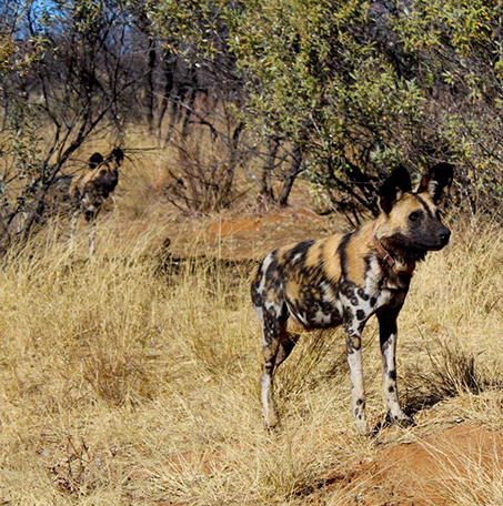 African wild dog (lycaon pictus). Lycaon is for the way they disembowel their prey. Pictus is because their coat looks painted (like a picture) #themoreyouknow