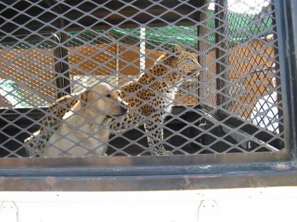 Lost's best friend on the farm was a labrador named Lala. As a young leopard, Lost would follow Lala everywhere. Lala was Lost's unofficial mum after he biological mother was shot.