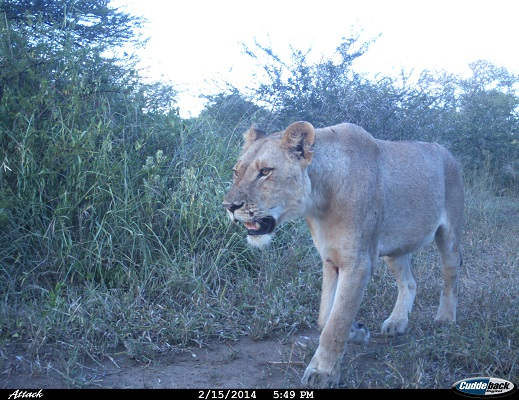 Camera trap image courtesy of  Wildlife ACT