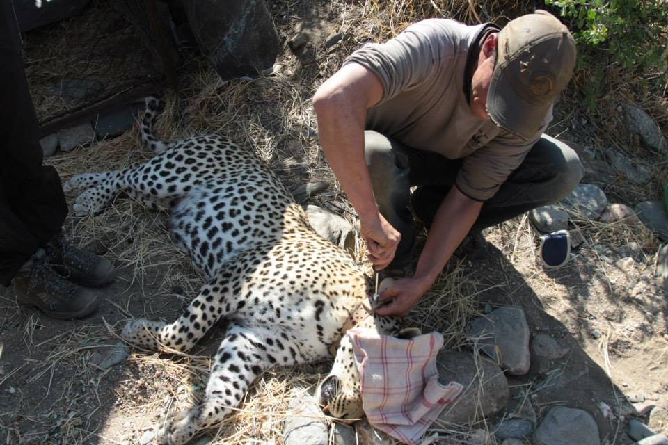 A rescued leopard being fitted with a GPS collar before release back in to the wild