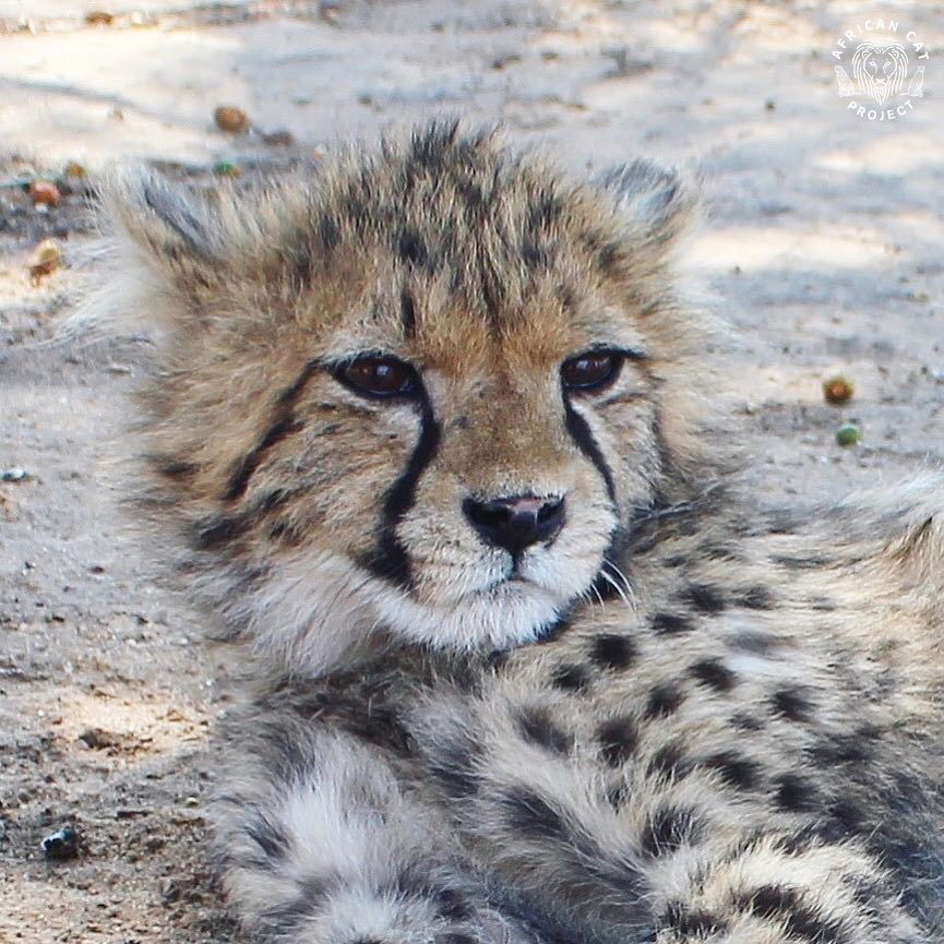 The precious, tortured face of a cheetah cub who had seen his mother shot in a human-wildlife conflict incident, and then later suffered the same fate himself