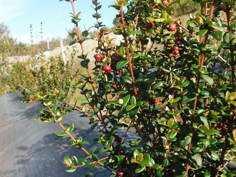 The pilot murta berry garden installed in the Allipen Community in 2016