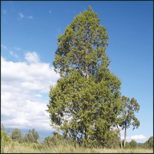 Juniperus procera