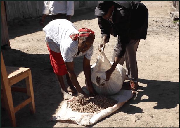 Podocarpus-Seeds-Farmer.png