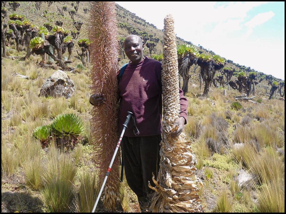Edward on Mt. Kenya between  Lobelia telekii .