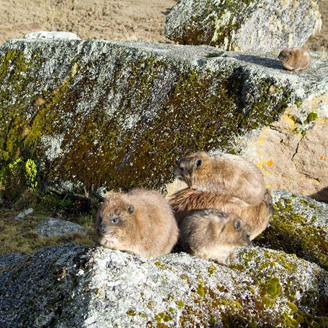 Rock hyraxes can't regulate their body temperatures well and are condemned to cuddle adorably for warmth. Their closest living relatives are elephants and manatees.