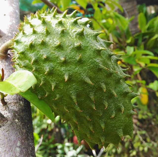 The Annona muricata tree produces a hefty fruit commonly known as soursop; its custardy pulp is mildly tart and reminiscent in flavor of apple, citrus, and strawberry. Now available!  theseedybusiness.com/the-seed-book/annona-muricata