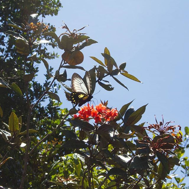 Rhododendron fallacinum seeds are now available! This rare plant is found in Borneo on the slopes of Mt. Kinabalu, its orange flowers glowing in the forest.  #rhododendron #mtkinabalu #rareplants