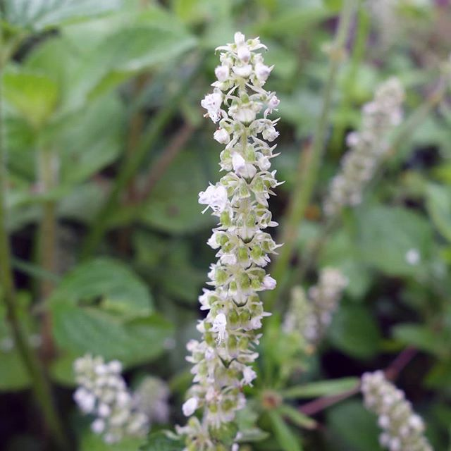 Platostoma africanum is an herb in the mint family with small white flowers. In tropical Africa it is cooked as a vegetable and served with rice or ugali.  http://theseedybusiness.com/the-seed-book/platostoma-africanum  #annualflowers #medicinalplants #traditionalfood