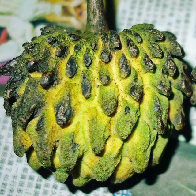 Originating in South America, Rollinia mucosa produces a delicious yellow fruit with the texture of custard and the flavor of lemon meringue pie. Seeds now available!  theseedybusiness.com/the-seed-book/rollinia-mucosa  #biriba #custardapple #wildsugarapple