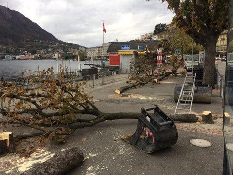 Foto 2. Taglio di ippocastani in Riva Giocondo Albertolli (6.11.2017)