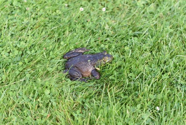 Frogs in Rye!