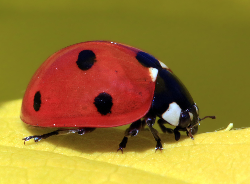 Let this be your pesticide!  (Photo of ladybug by charlesjsharp on commons.wikimedia.org)