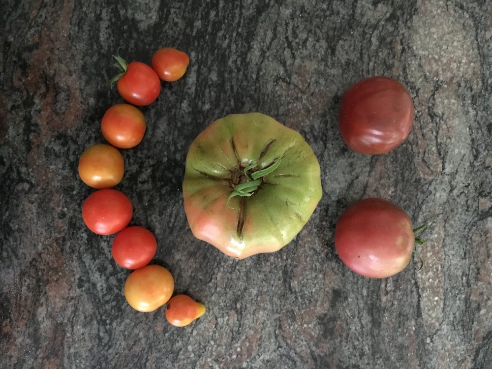 Tomatoes from the MacVicars' Healthy Yard